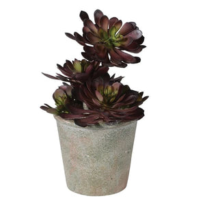 Black Succulent in Textured Pot