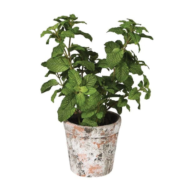 Green Mint Plant in Pot