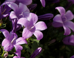 Load image into Gallery viewer, aubretia