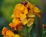 Load image into Gallery viewer, Erysimum