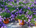Load image into Gallery viewer, 1 Year Bedding Plant Subscription