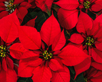 Load image into Gallery viewer, House Plants | Christmas