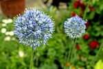 Load image into Gallery viewer, Allium Bloom Box