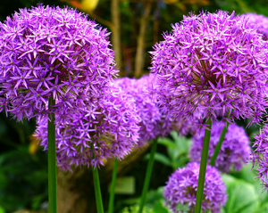 Allium Bloom Box