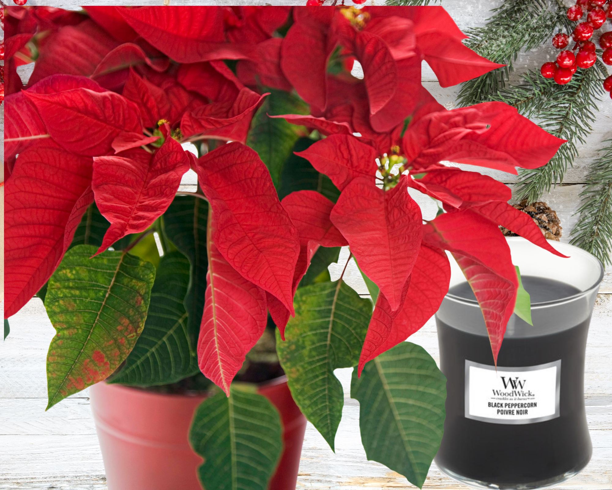 Christmas Gift || Candle & Poinsettia