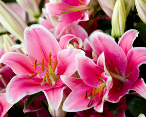 Exotic Lillies