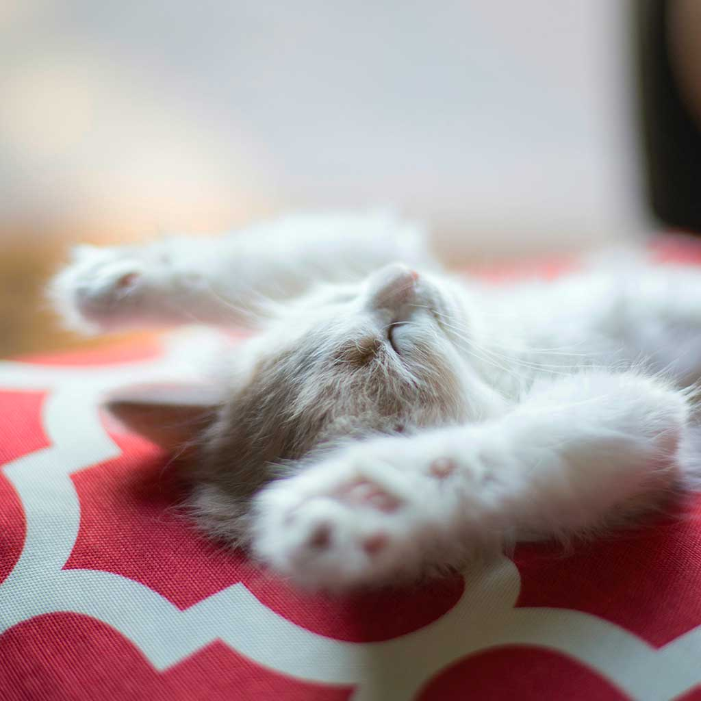 Cute kitten stretching arms out while taking a nap.