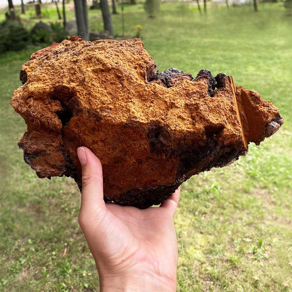 Hand holding up a large piece of wild chaga mushroom outdoors.