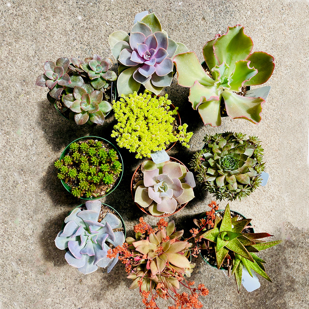10 Colorful Succulents, 4-inch
