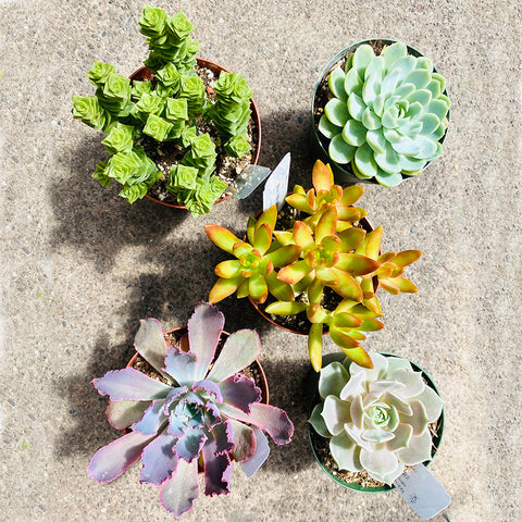 5 Colorful Succulents, 4-inch