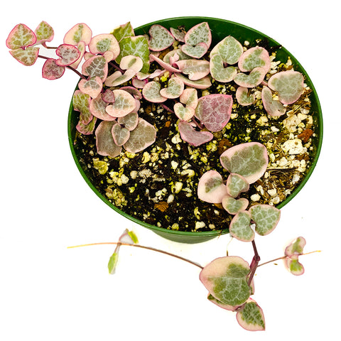 Ceropegia woodii variegata 'String of Hearts Variegated', 4-inch