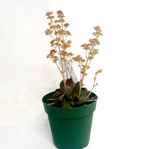 Crassula orbicularis 'Red', 4-inch