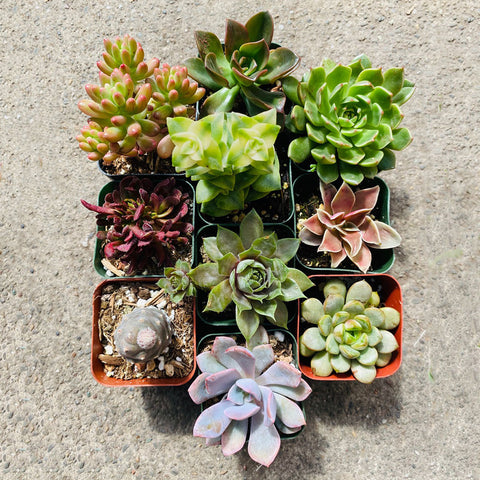 10 Colorful Succulents, 2-inch
