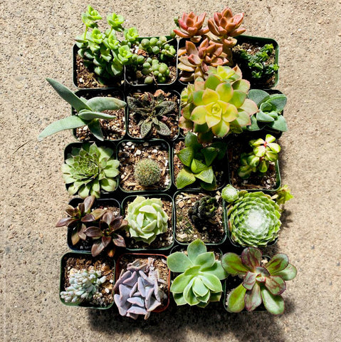 20 Colorful Succulents, 2-inch