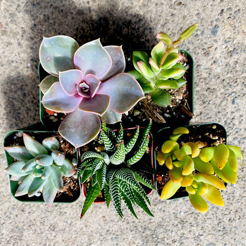 5 Colorful Succulents, 2-inch
