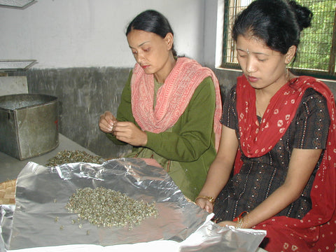woman drying Silver Pearls / Darjeeling tea leaves