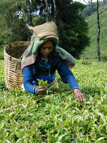 woman picking earl grey leaves