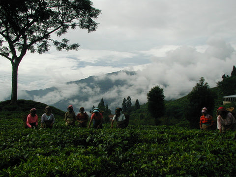 Darjeeling Gopaldhara Estate Fields