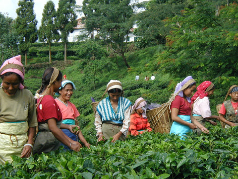 Darjeeling Gopaldhara Estate Workers