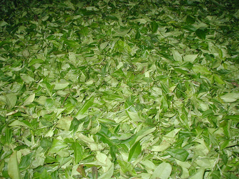 Wonder tea plants