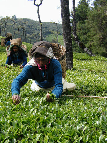workers piking Green Korakundah Estate Nilgiri-Organic & Bio-Dynamic tea leaves