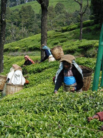 Korakundah Tea estate workers