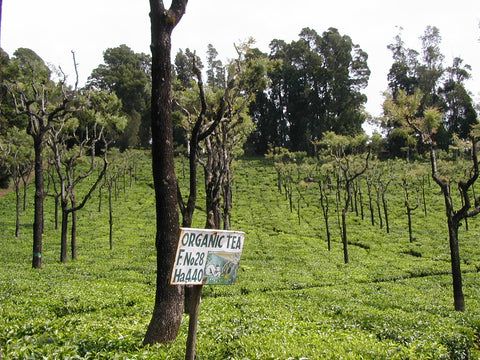 Green Korakundah Estate Nilgiri-Organic & Bio-Dynamic fields