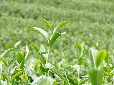 Fancy Formosa Oolong-Bai Hao tea plants growing
