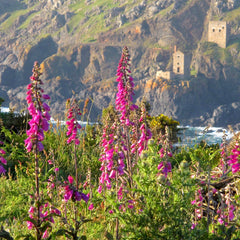 Foxgloves and The Crowns, Botallack
