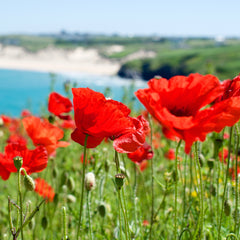 Poppies, West Pentire