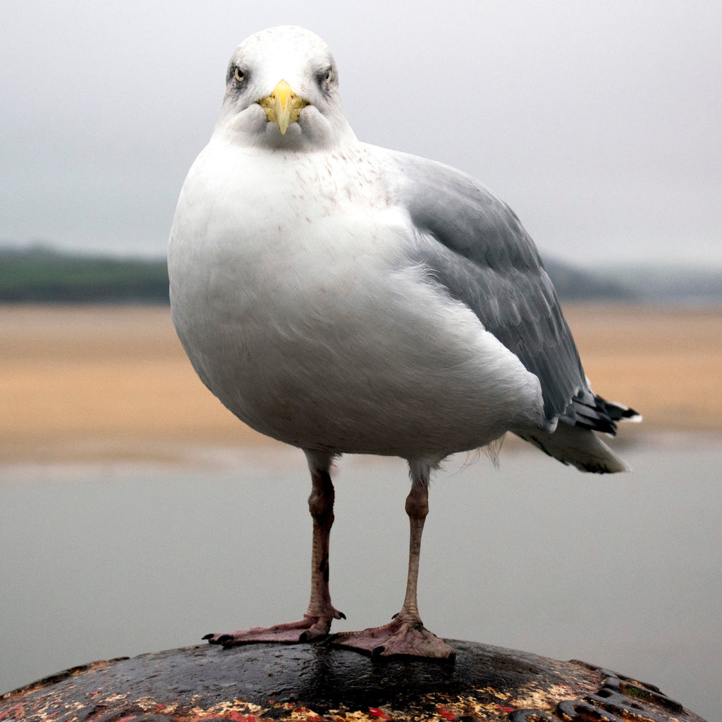 Padstow Gull