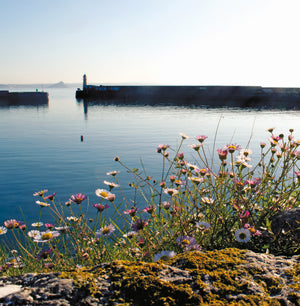 Daisies, Newlyn Harbour