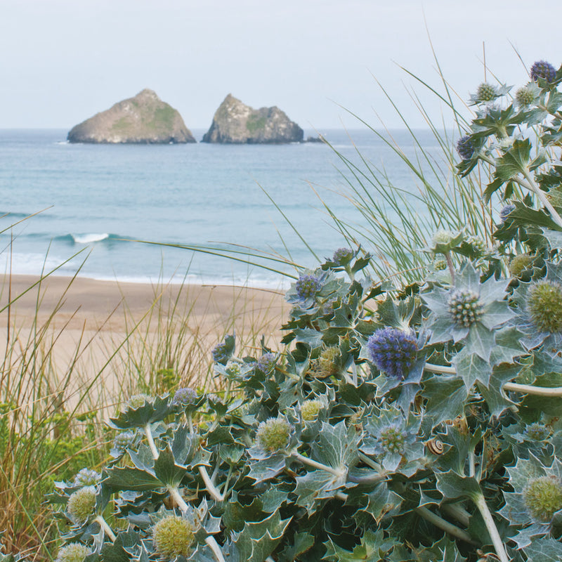 Sea Holly, Holywell