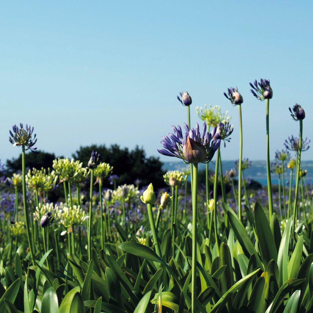 Agapanthus Fields, Varfell, Thank You card