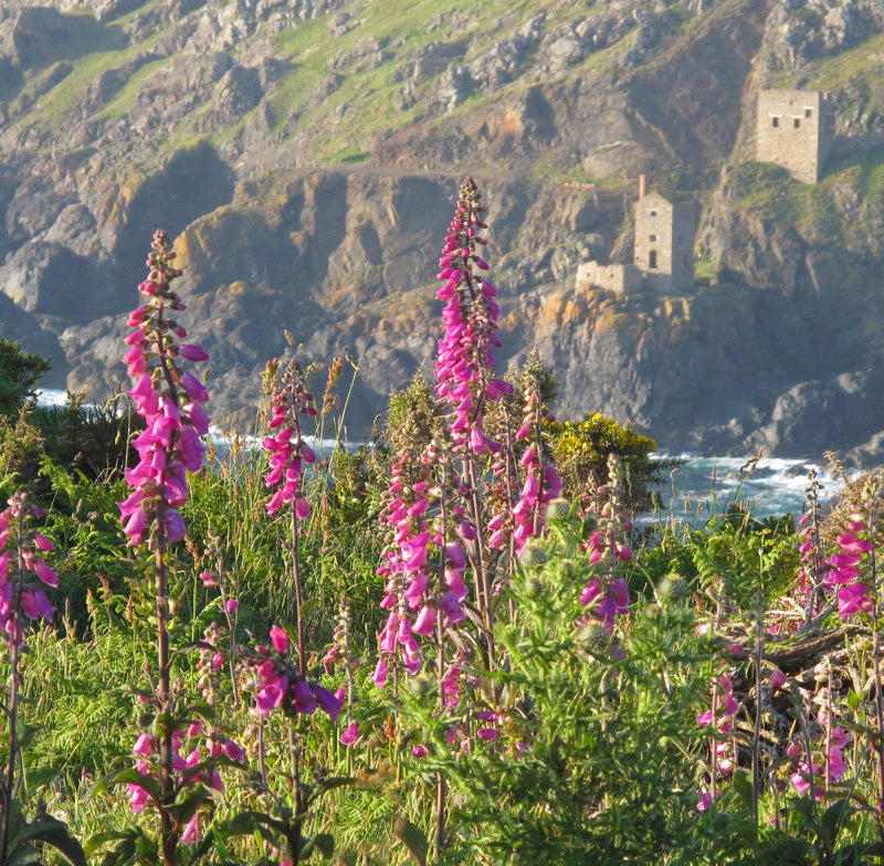 Foxgloves and the Crowns, Botallack, Cornwall