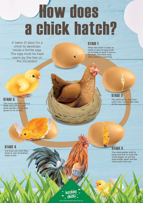 GENERIC - 12 day Hatching Chicks Delivered Program