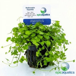 Epic Aquatics - Hydrocotyle tripartita