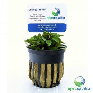 Epic Aquatics - Ludwigia repens