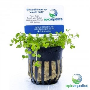 Epic Aquatics - Micranthemium sp. 'Monte Carlo'