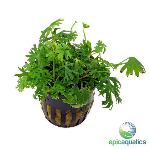 Epic Aquatics - Rananculus inundates