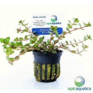 Epic Aquatics - Rotala colorata