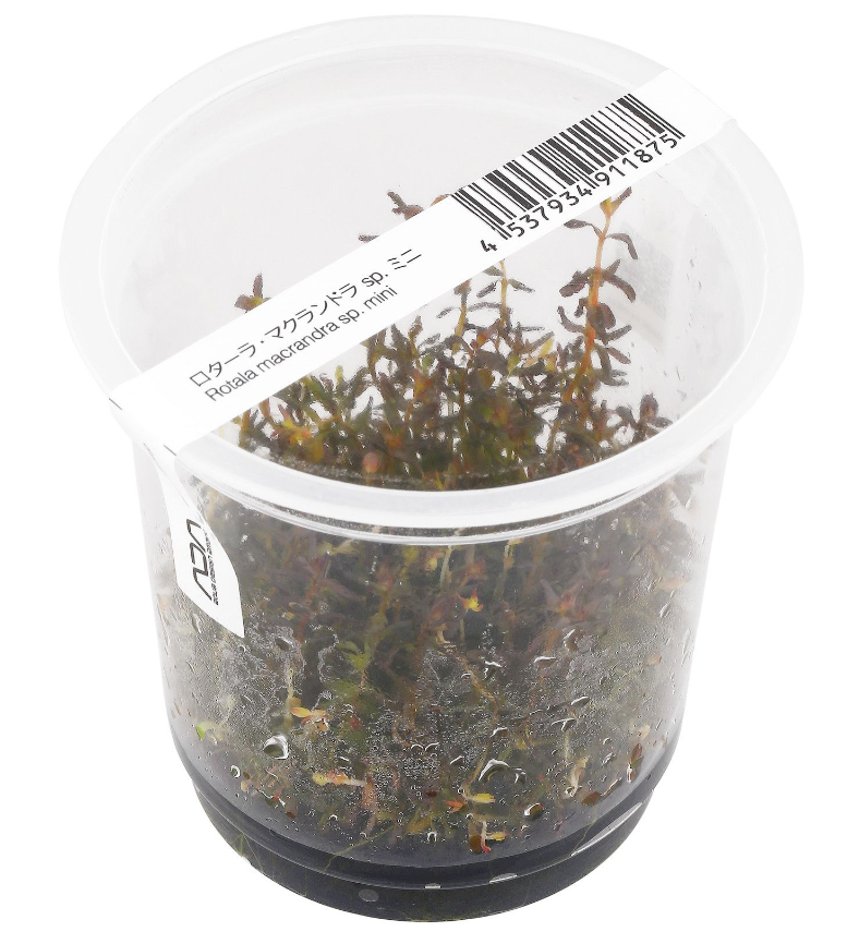 ADA - Rotala macrandra sp. 'mini' tissue culture