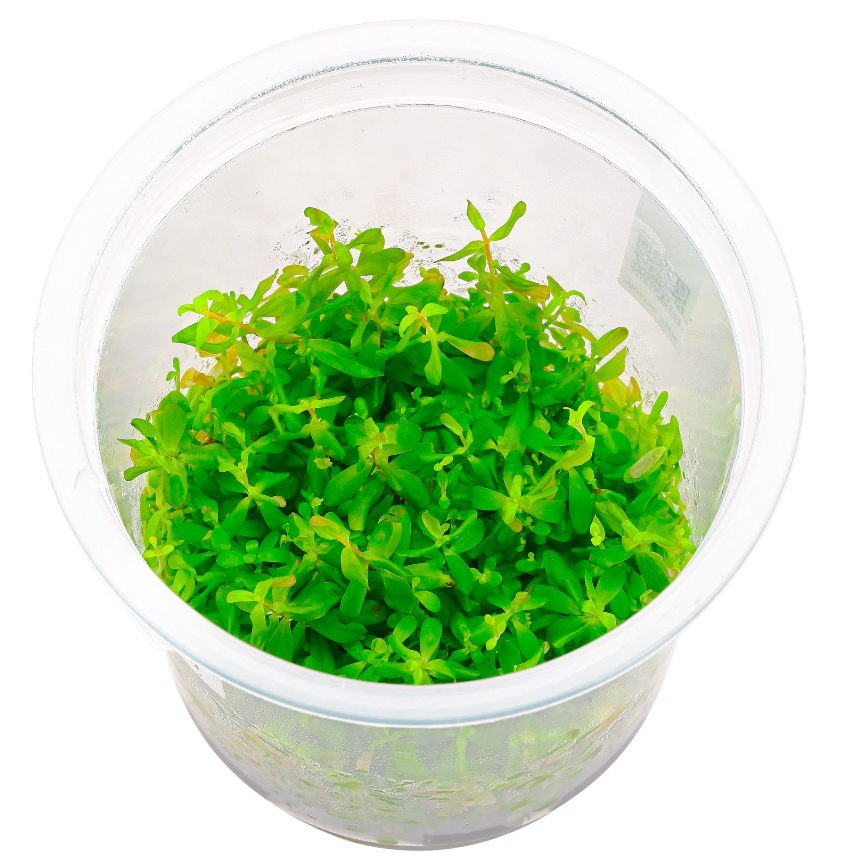 ADA - Rotala sp. Ceylon tissue culture
