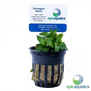 Epic Aquatics - Staurogyne repens