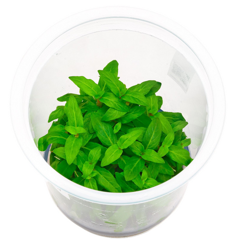 ADA - Staurogyne repens tissue culture