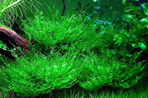 ADA - Taxiphyllum sp. 'Peacock moss' tissue culture