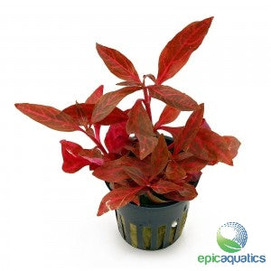 Epic Aquatics - Alternanthera reineckii 'Mini