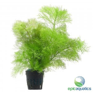 Epic Aquatics - Limnophila aquatica