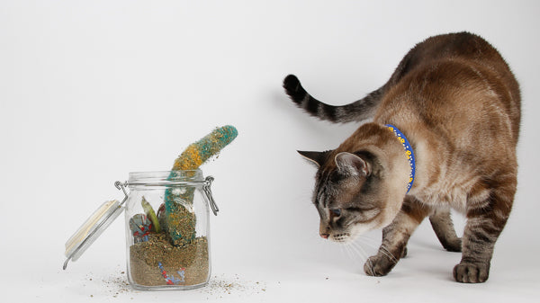 A cat inspects the contents of a catnip toy marinade jar