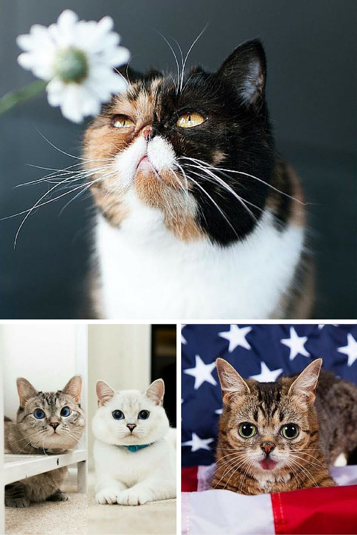 Celebrity cats at CatConLA are Pudge, Lil Bub, Nala and White Coffee Cat